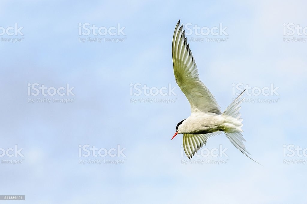 Arctic Tern showing wings stock photo