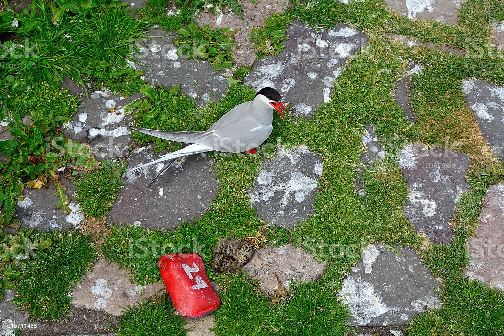Arctic tern with chick stock photo