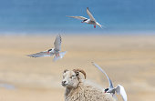 Arctic terns attacking sheep on a beach, West Fjords, Iceland