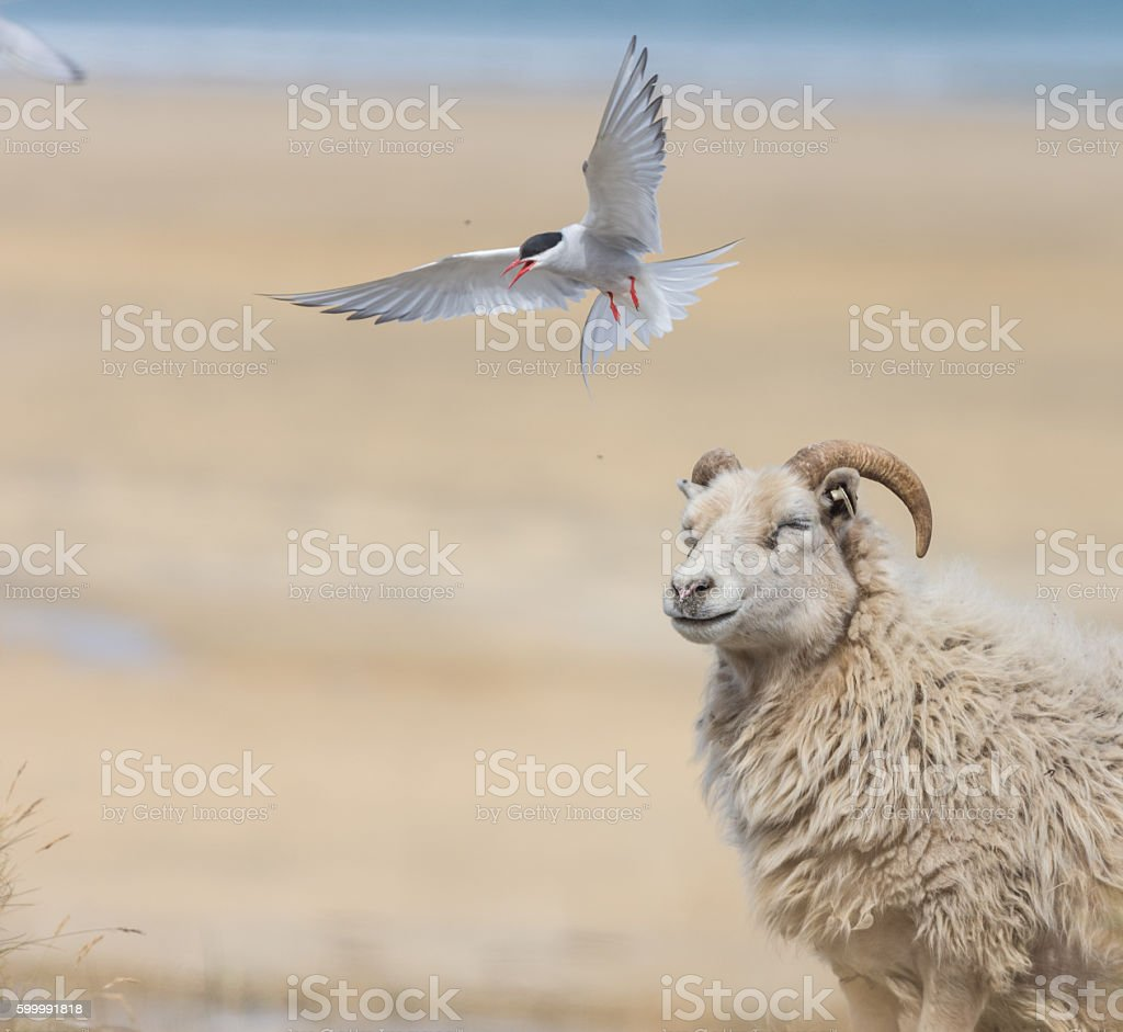 Arctic terns attacking sheep on a beach, West Fjords, Iceland stock photo