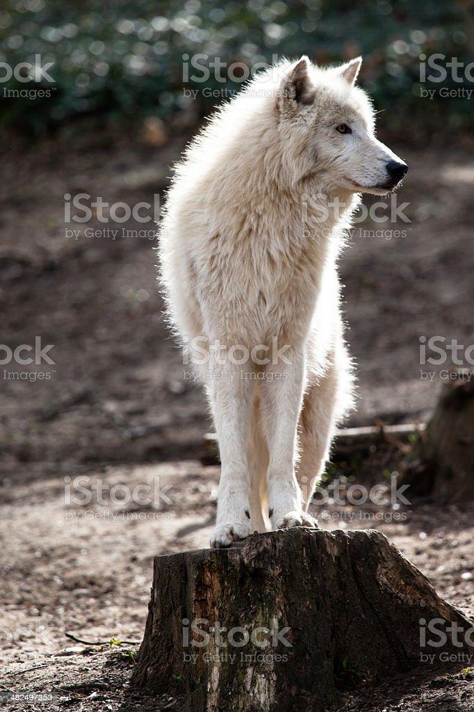 Arctic white wolf stock photo