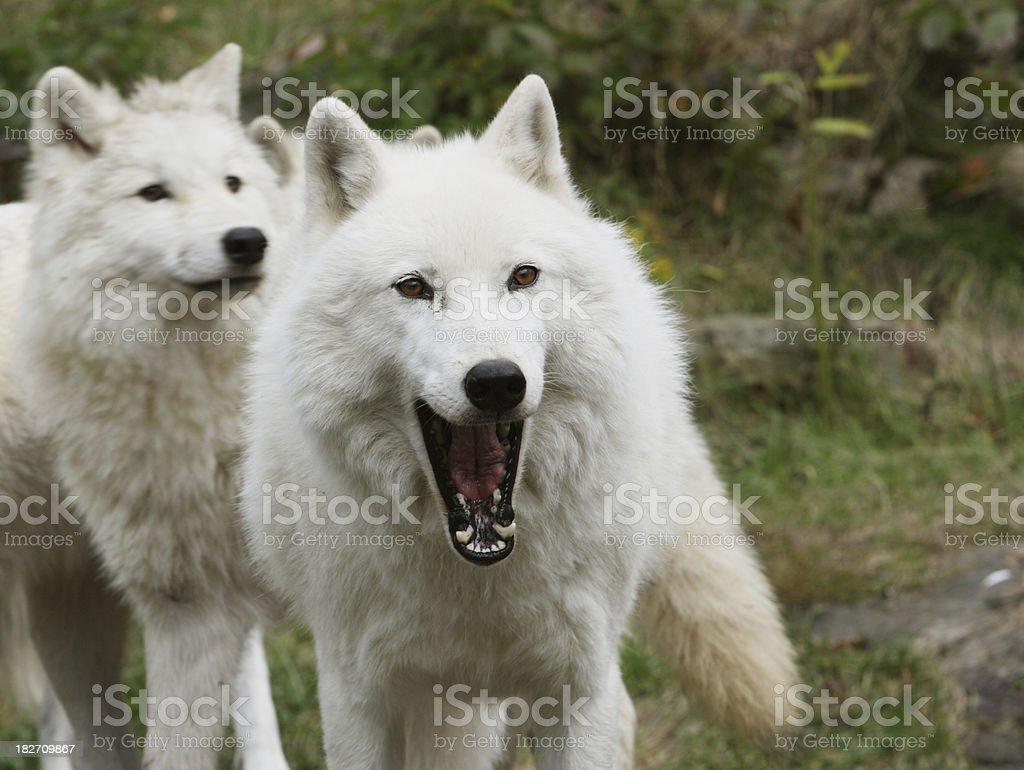 Arctic Wolf Baring Teeth and Cub stock photo