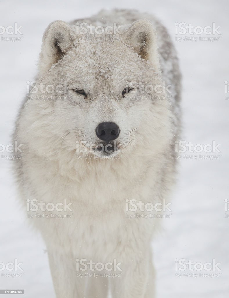 arctic wolf close-up royalty-free stock photo