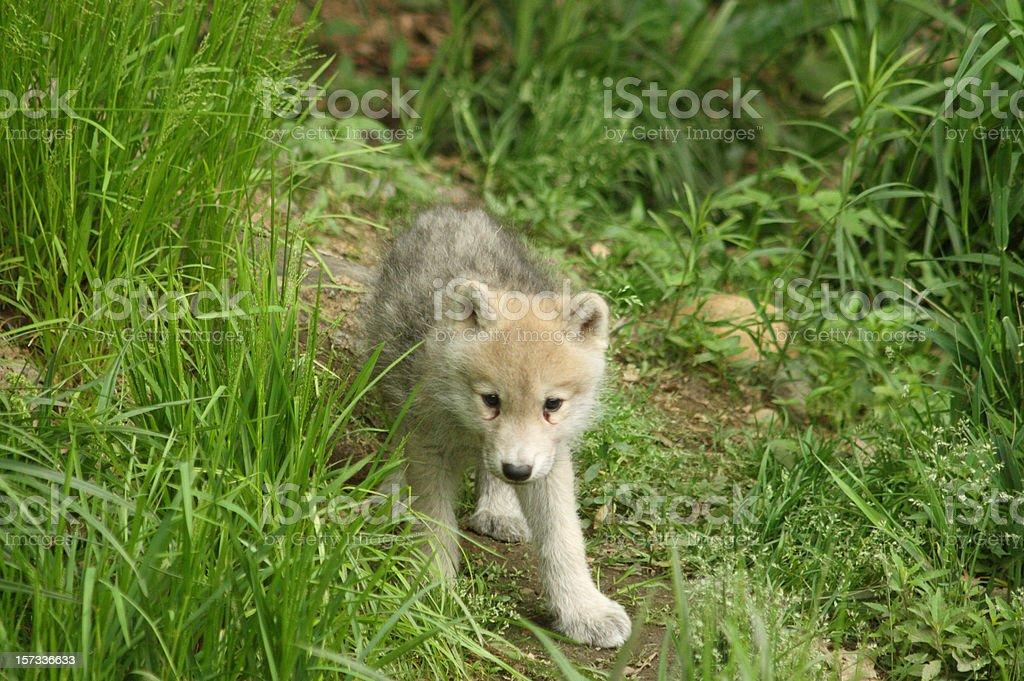 Arctic Wolf Cub stock photo