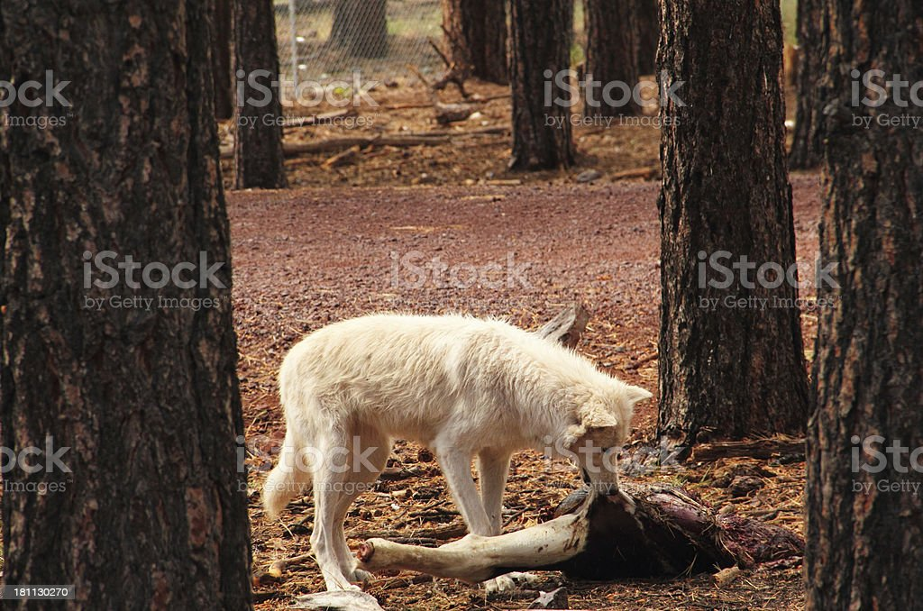Arctic Wolf Eating royalty-free stock photo