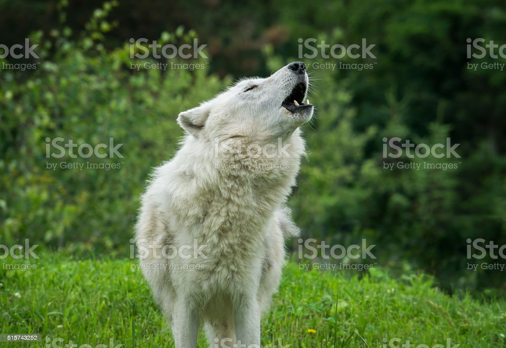 Arctic Wolf Howling in Springtime stock photo