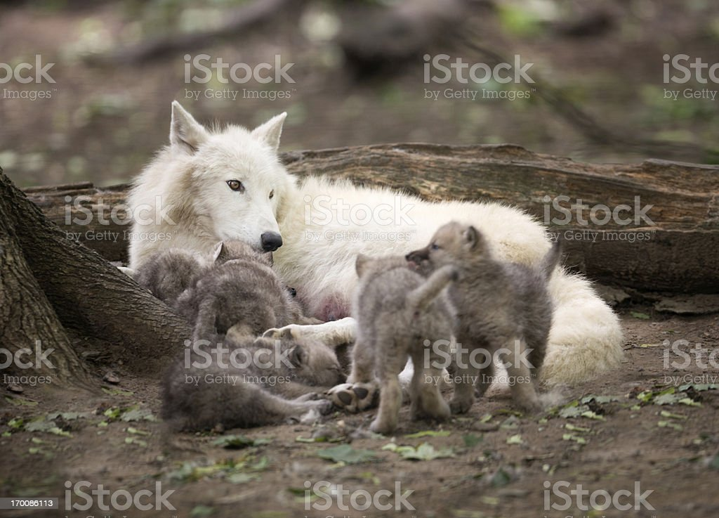 Arctic Wolf Mother watching over her five Newborn stock photo