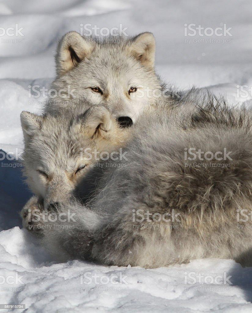 Arctic wolf pair stock photo