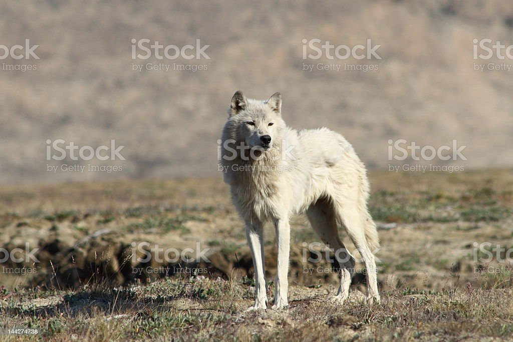 Arctic Wolf royalty-free stock photo