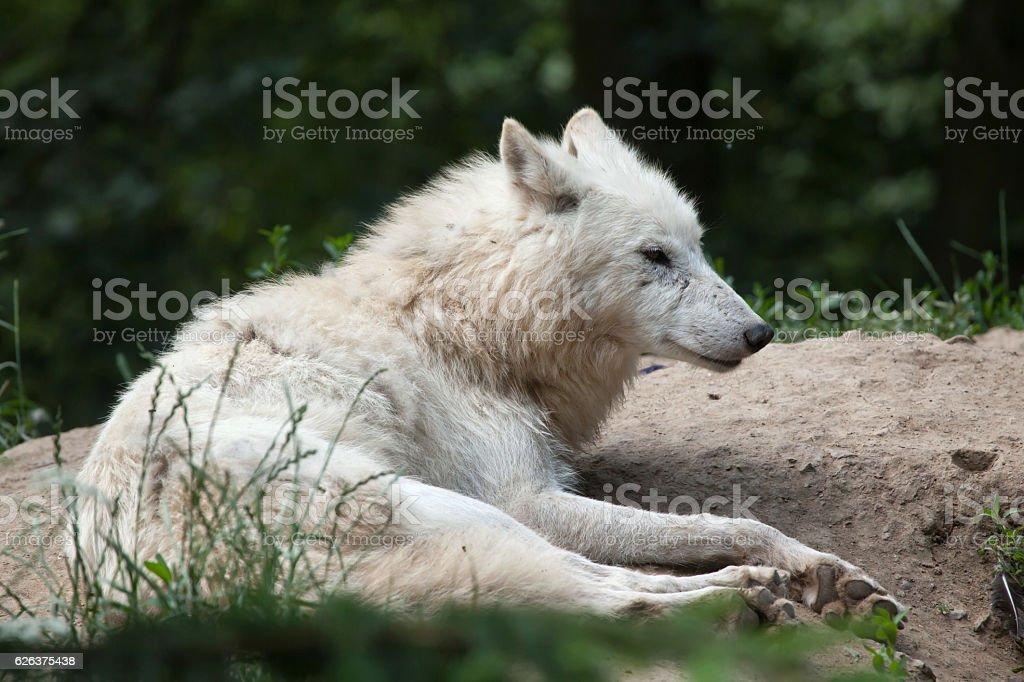 Arctic wolf (Canis lupus arctos) stock photo