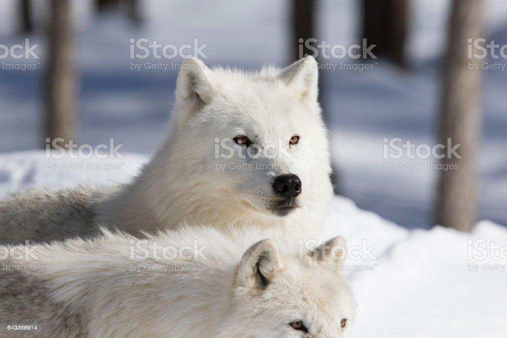 Arctic wolves couple stock photo