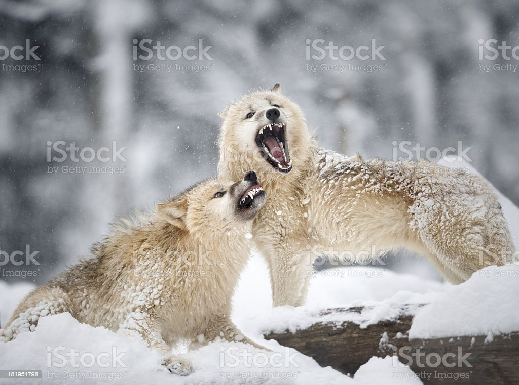 Arctic Wolves in Wildlife, Winter Forest stock photo