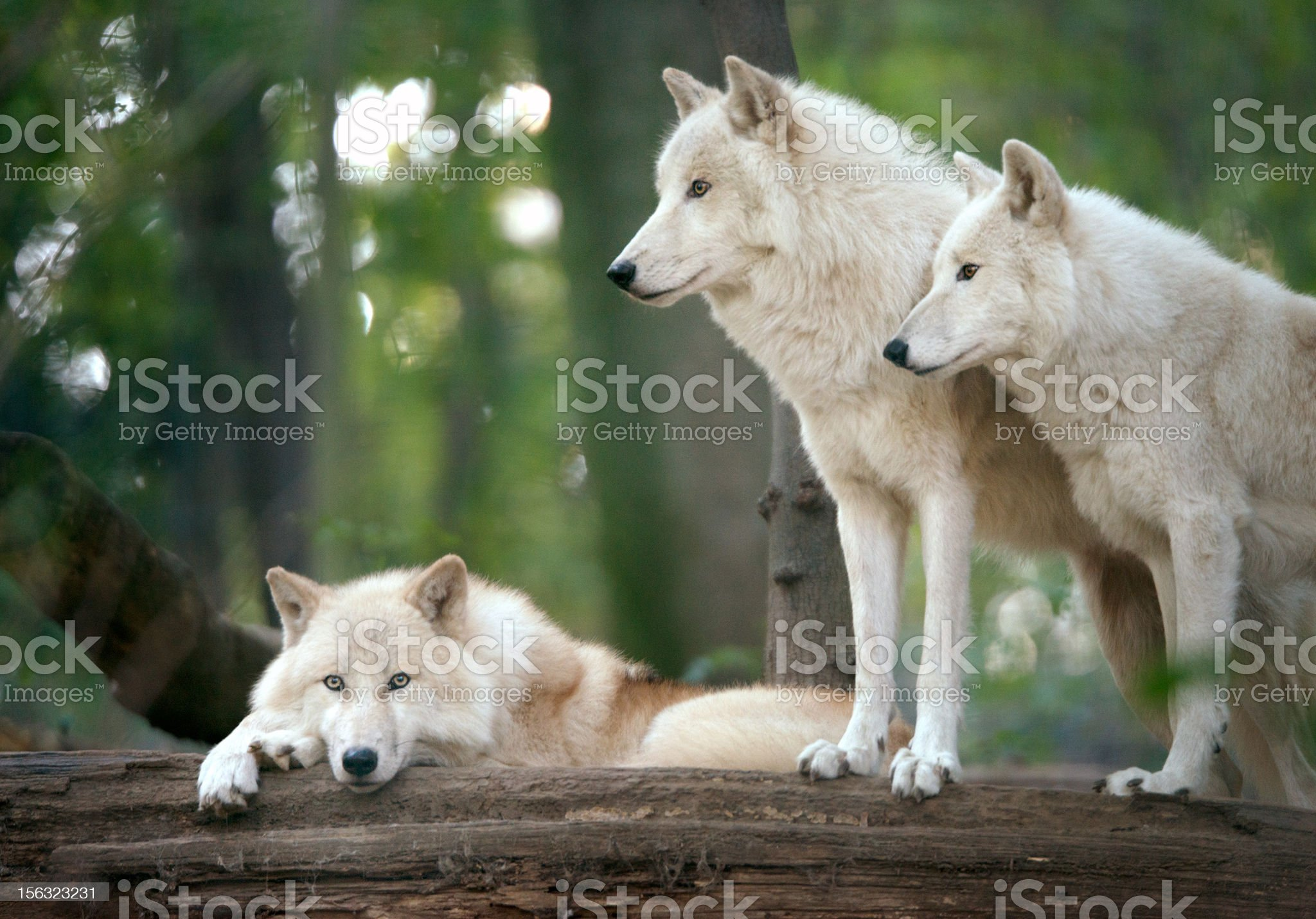 Arctic Wolves Pack in Wildlife royalty-free stock photo