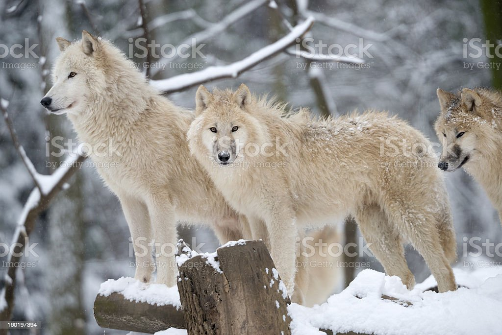 Arctic Wolves Pack in Wildlife, Winter Forest royalty-free stock photo