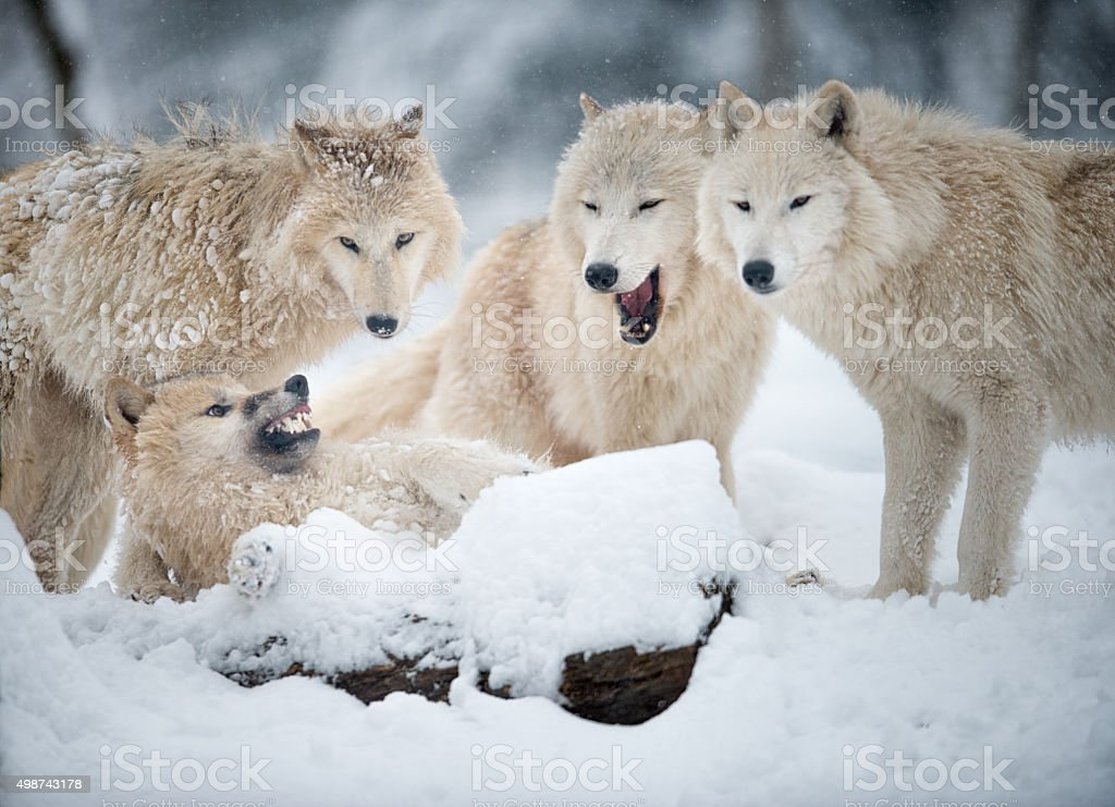 Arctic Wolves Pack in Wildlife, Winter Forest stock photo