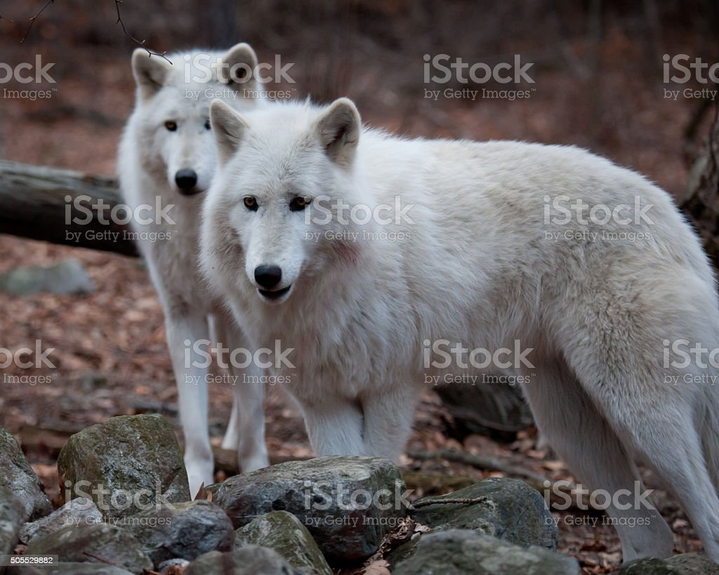 Arctic Wolves stock photo