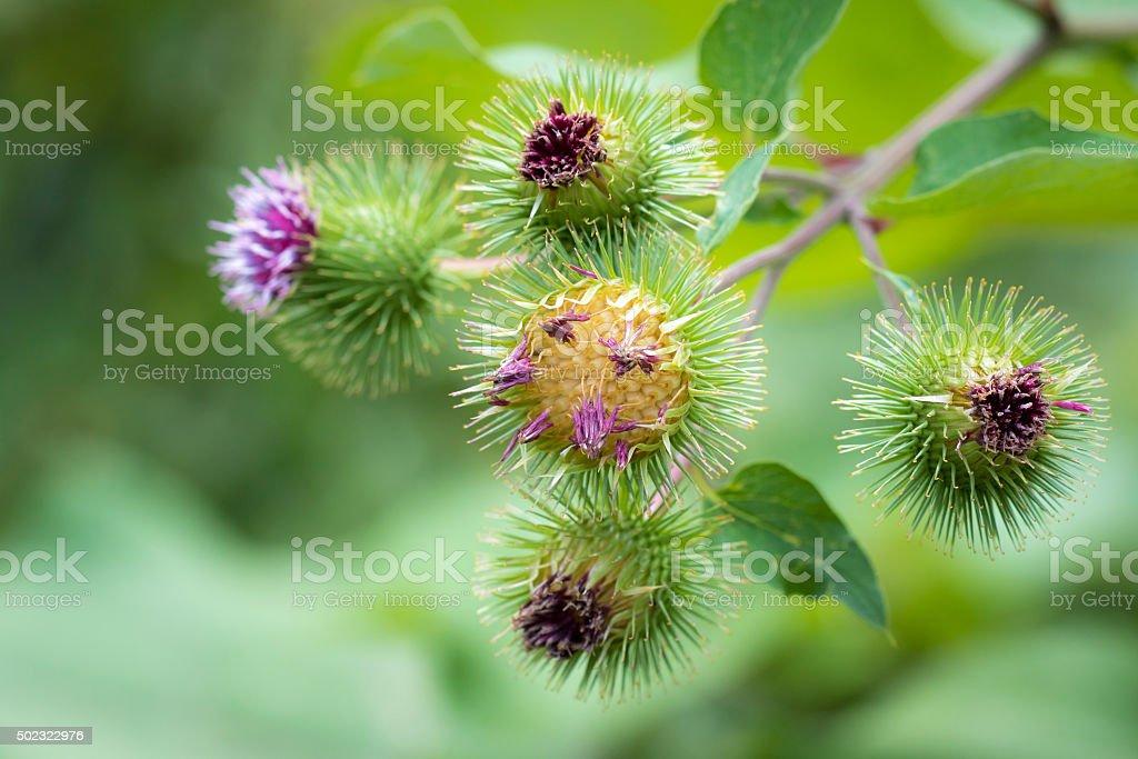 Arctium lappa or greater burdock flower stock photo