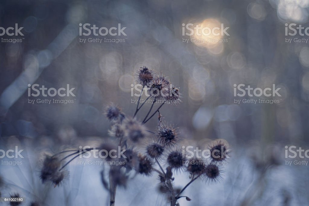 arctium lappa stock photo