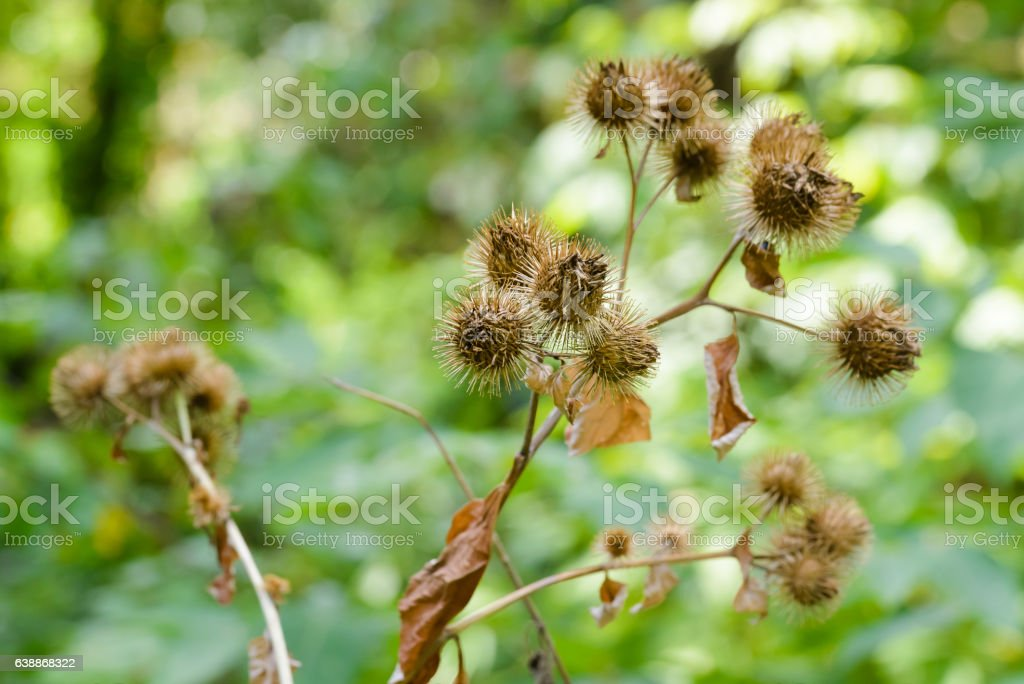 Arctium Lappa With Fruit stock photo