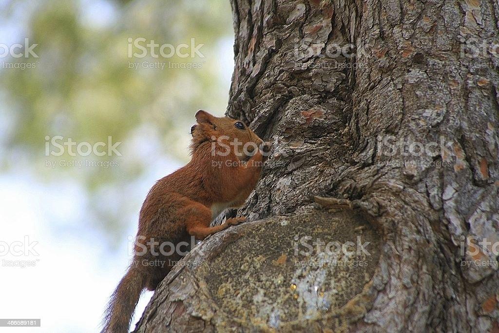 Ardilla encaramada en un pino stock photo