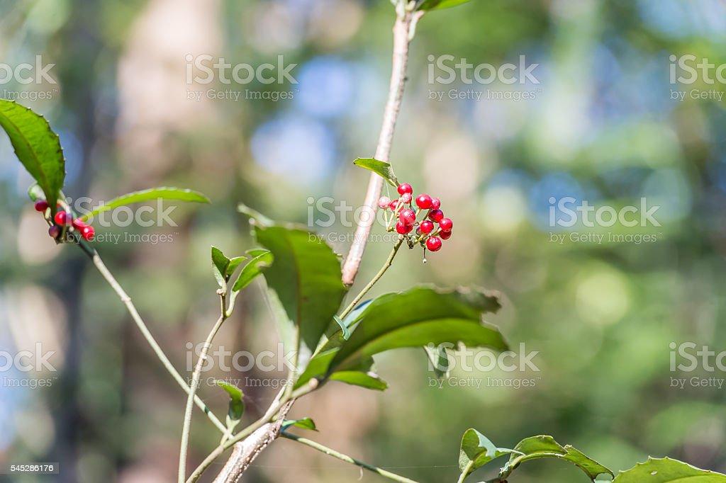 Ardisia crenata(Myrsinaceae) stock photo