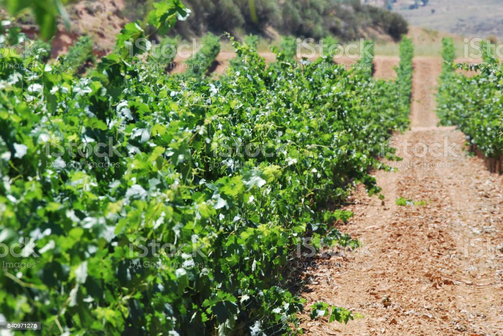 Area of vines stock photo