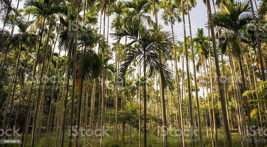 Areca catechu trees in agricultural farm in Nilgiris stock photo