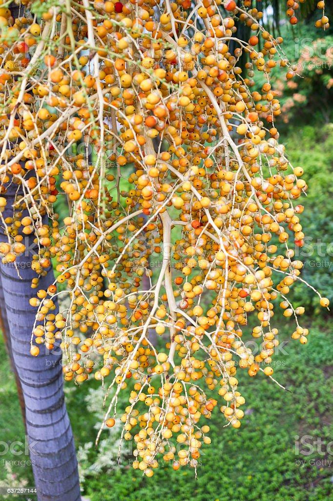 Areca Nut from Areca palm Medium Shot stock photo