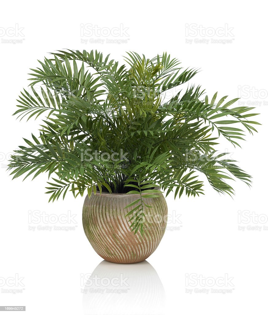 Areca Palm in a Clay Pot on a white background royalty-free stock photo