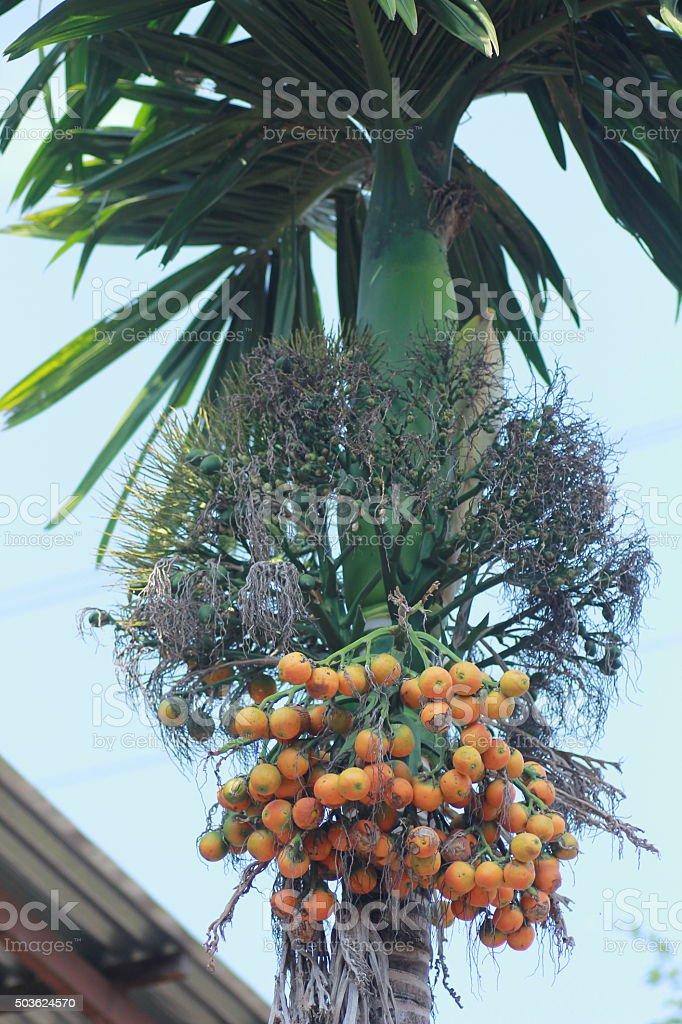 Areca tree and nuts stock photo