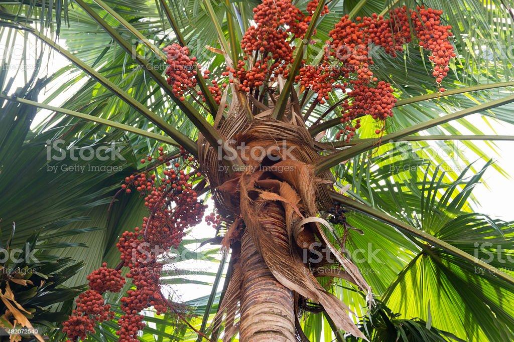 Areca tree stock photo