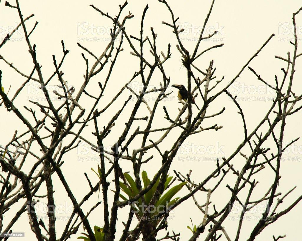 Arenal Toucan stock photo