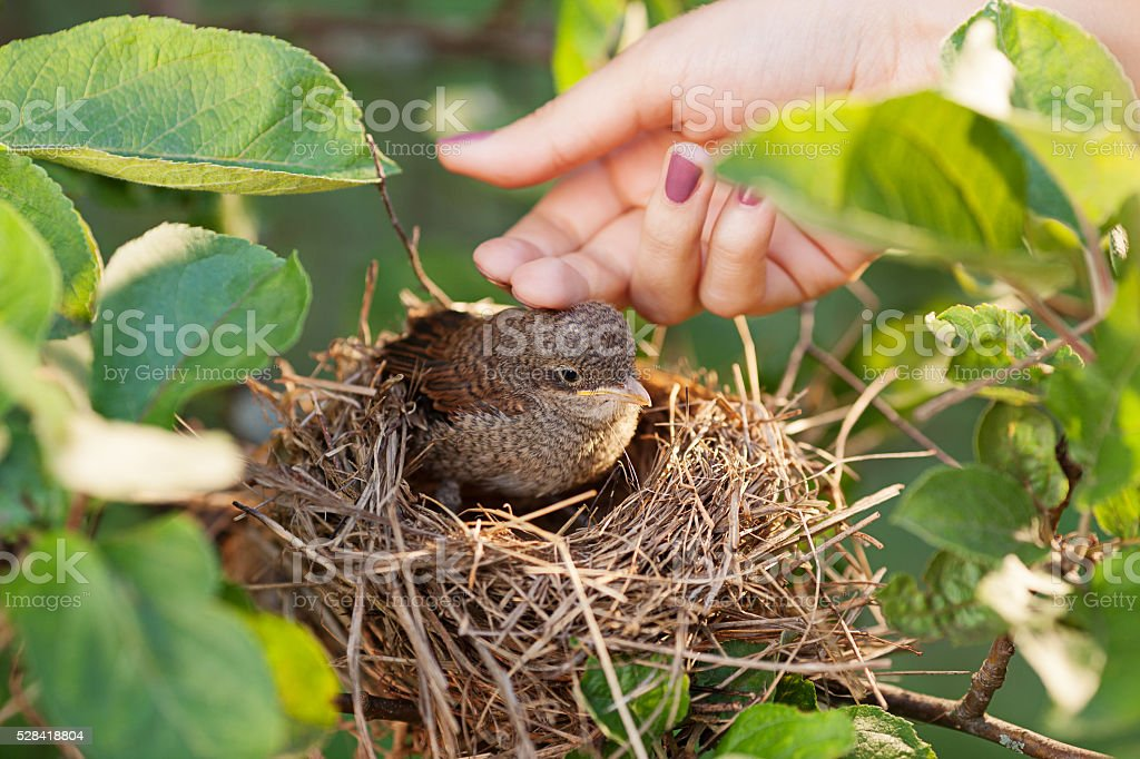 Сaress baby bird stock photo