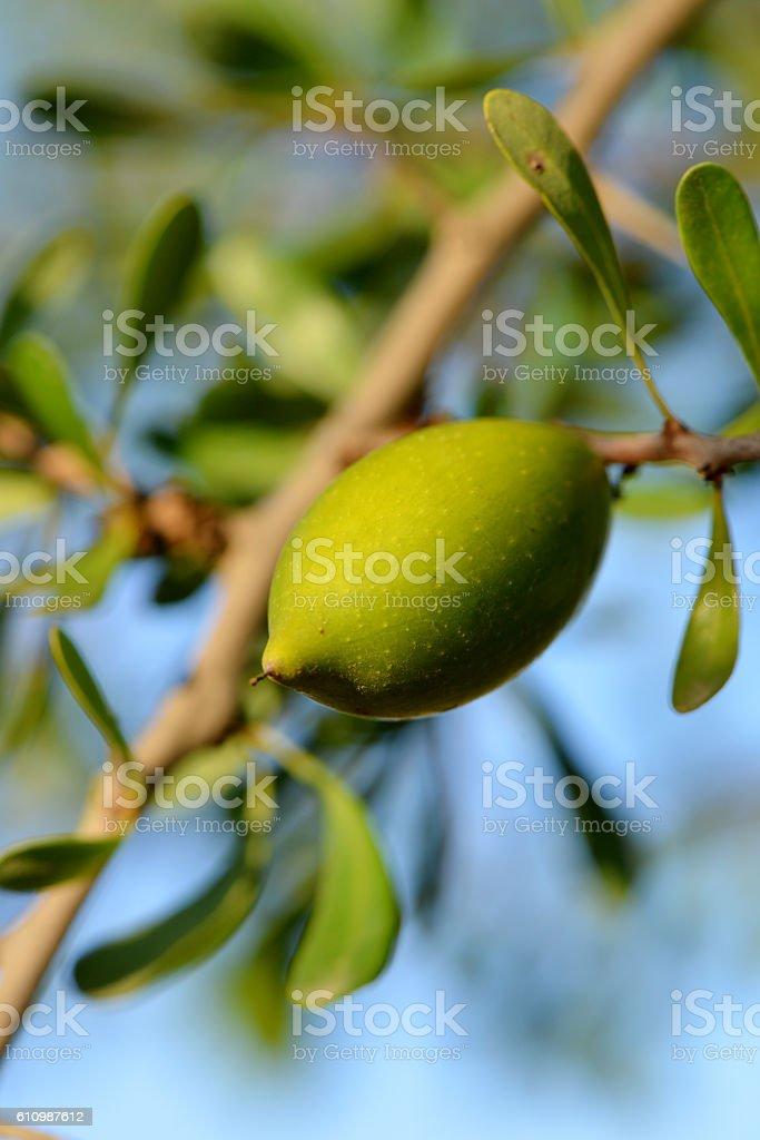 argan stock photo