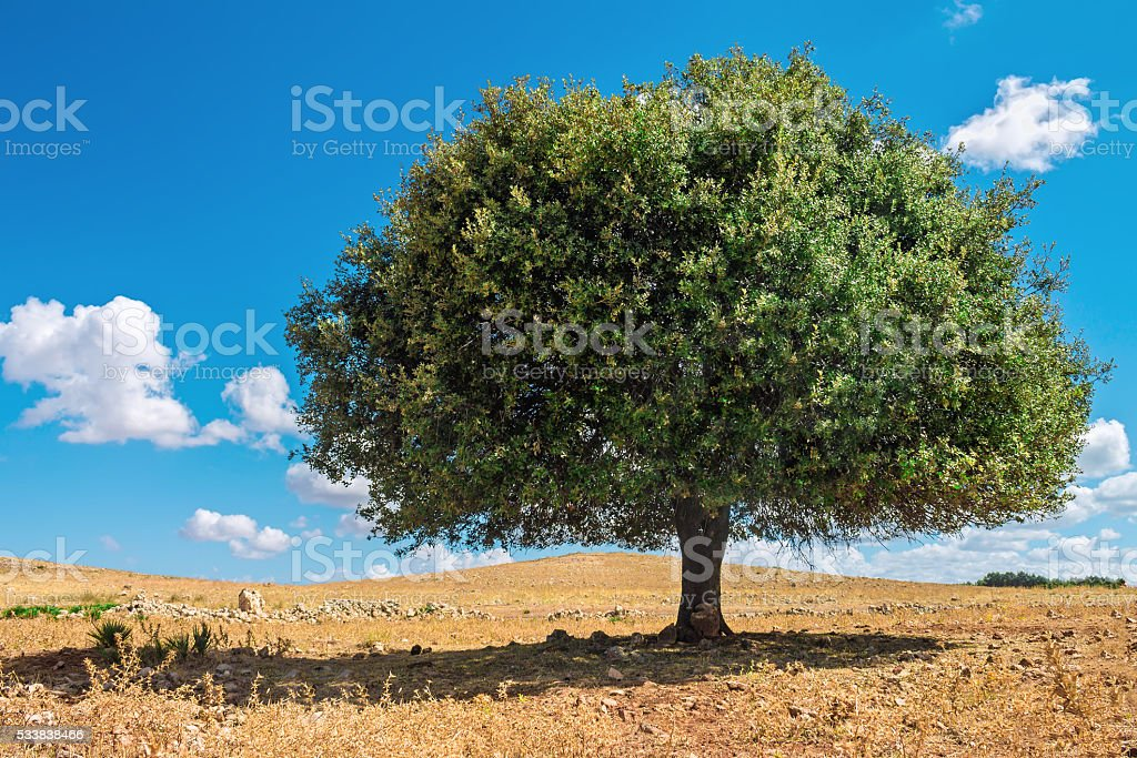 Argan tree in the sun, Morocco stock photo