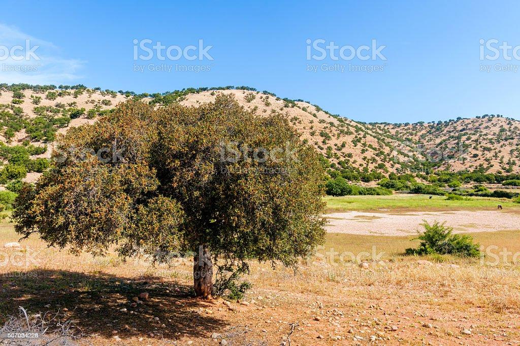 Argan tree in wheat field in Morocco, Africa stock photo