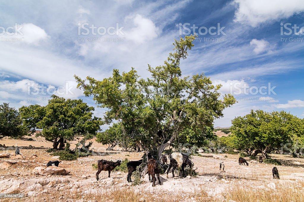 Argan tree stock photo