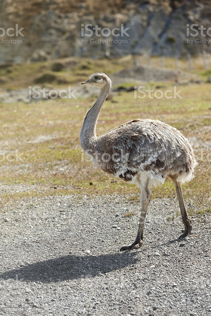 Argentina Patagonia Greater Rhea walking stock photo