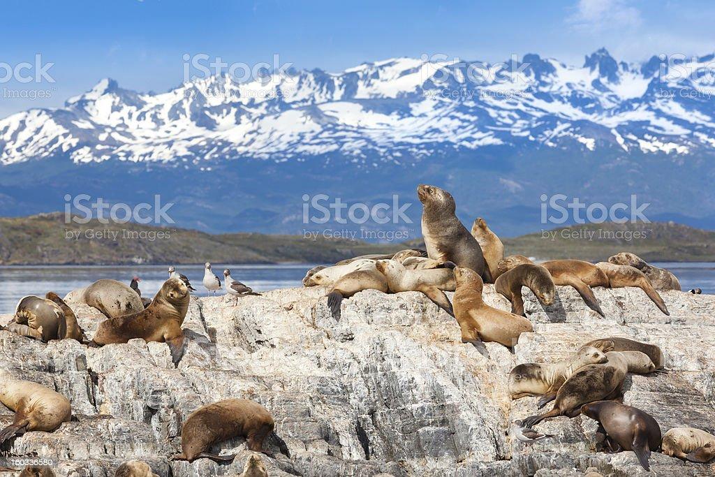 Argentina Ushuaia sea lions on island at Beagle Channel stock photo
