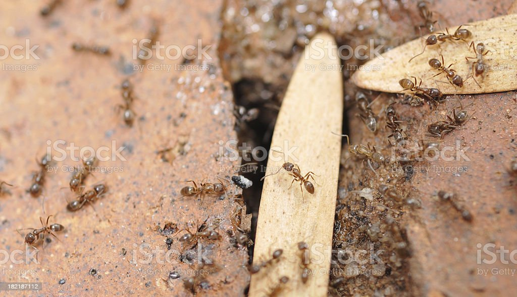 Argentine Ants royalty-free stock photo