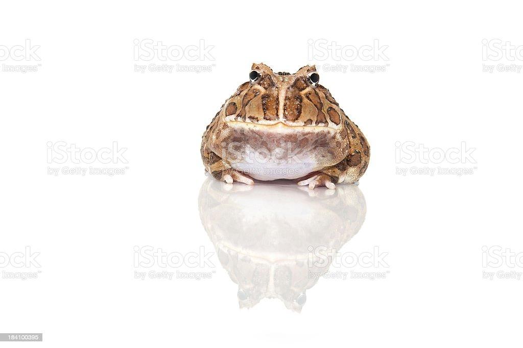 Argentine horned Frog, ceratophrys cranwelli stock photo