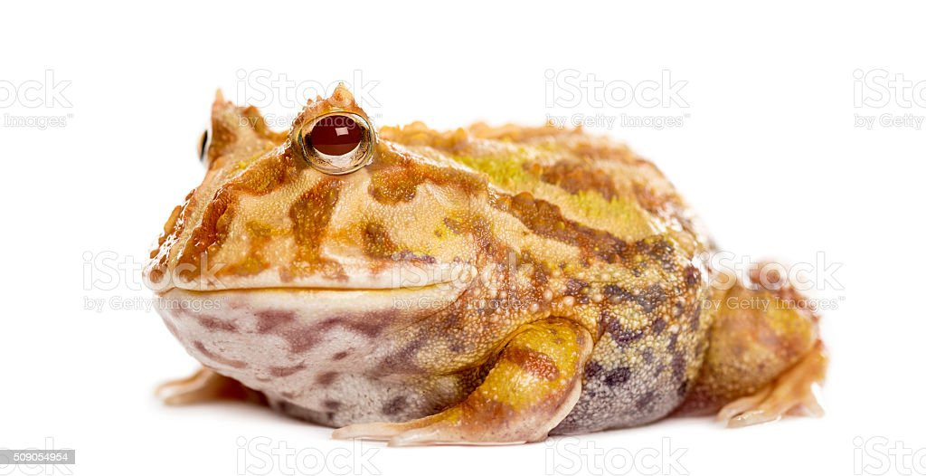 Argentine Horned Frog, Ceratophrys ornata, isolated on white stock photo