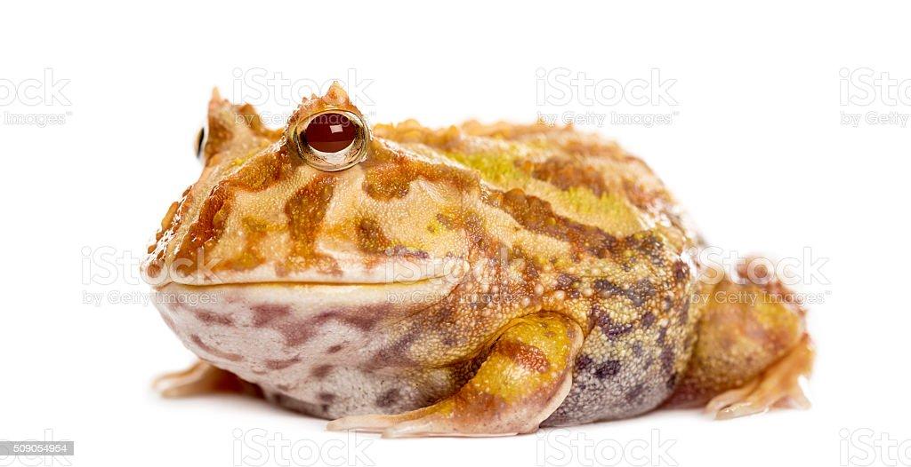 Argentine Horned Frog, Ceratophrys ornata, isolated on white stock photo