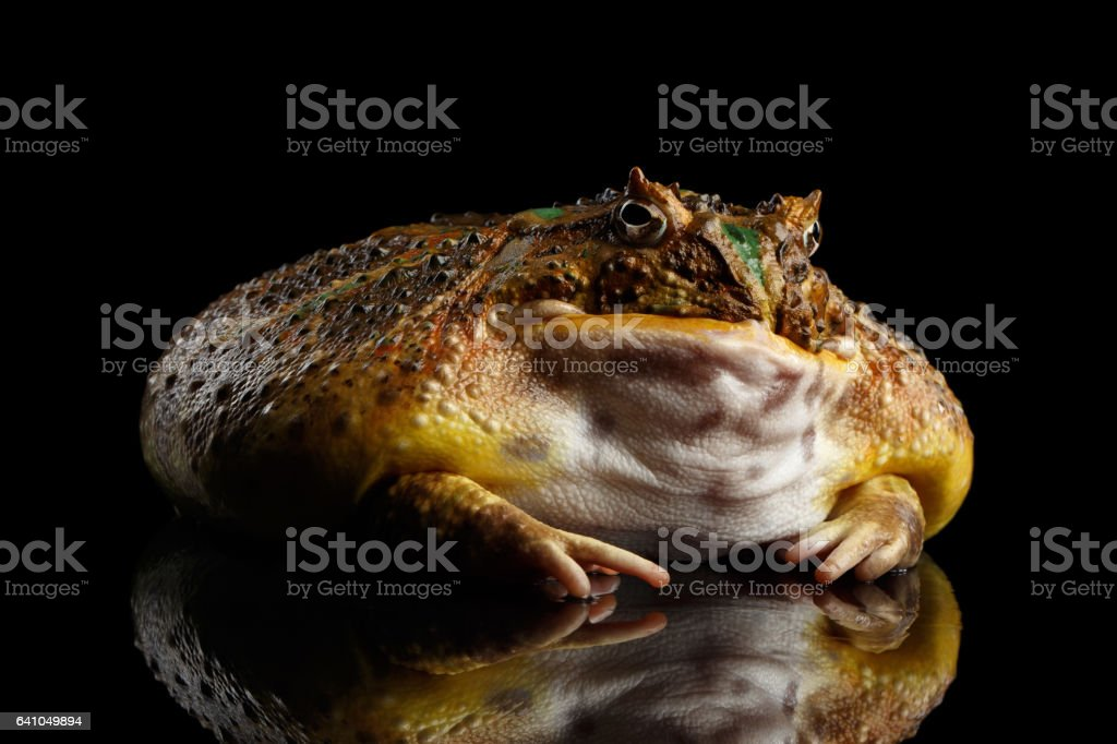 Argentine Horned Frog or Pac-man, Ceratophrys ornata stock photo