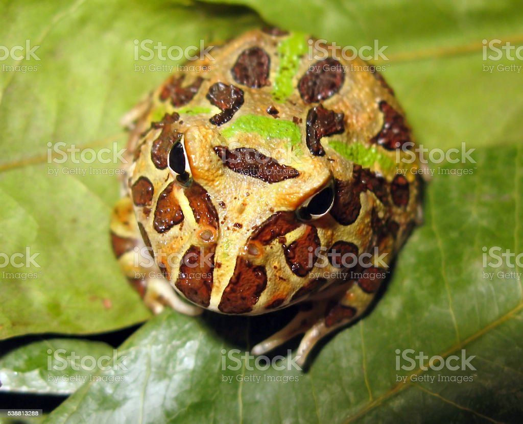 Argentine Horned Frog, or Pacman Frog stock photo
