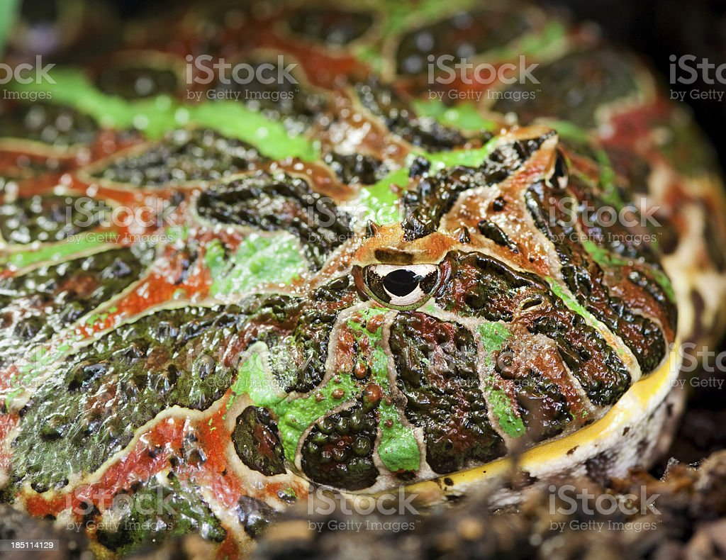 Argentine horned frog (Ceratophrys ornata) stock photo