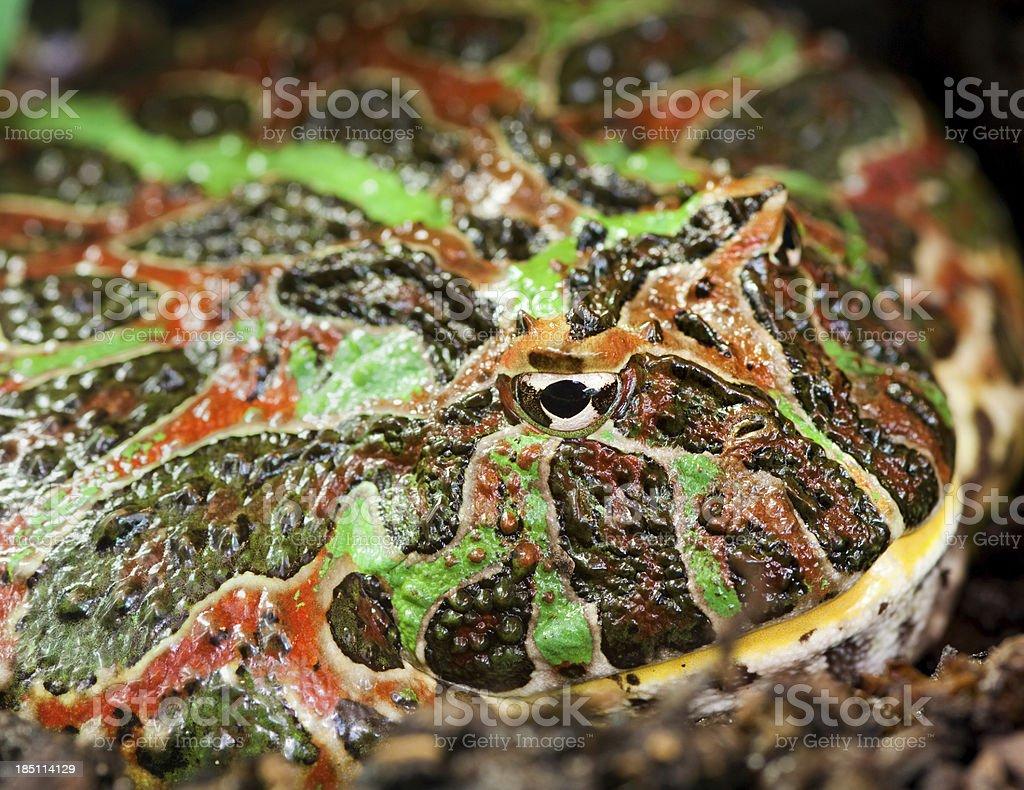 Argentine horned frog (Ceratophrys ornata) stock photo