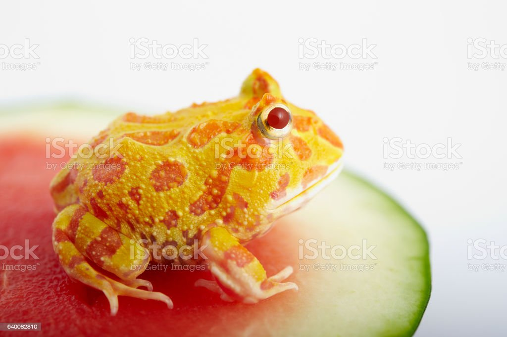 Argentine Horned Frog stock photo