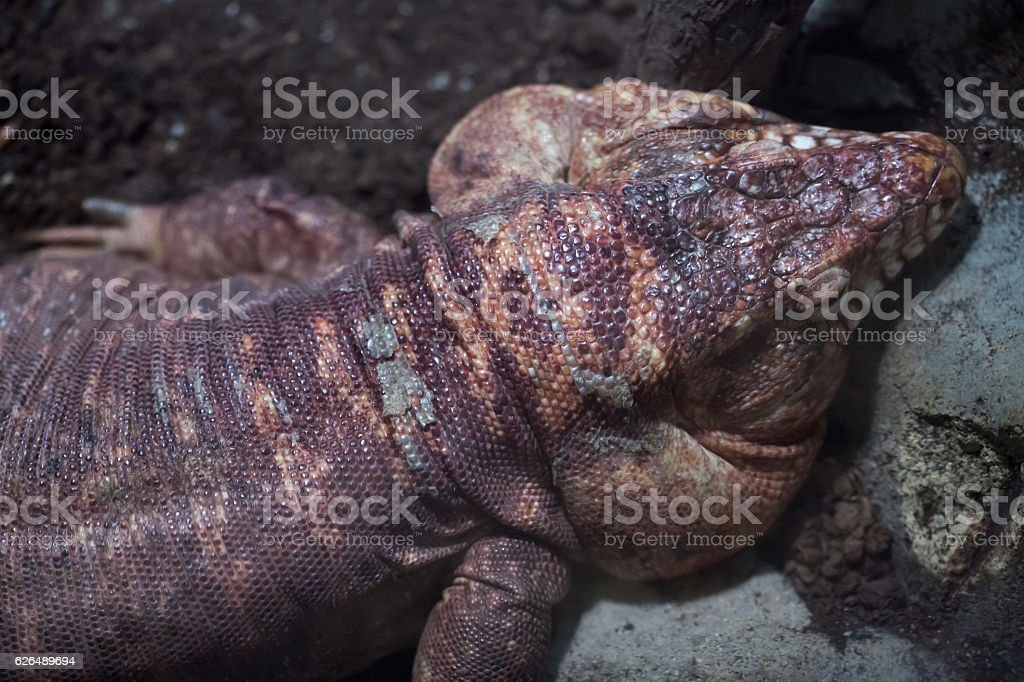 Argentine red tegu (Tupinambis rufescens) stock photo