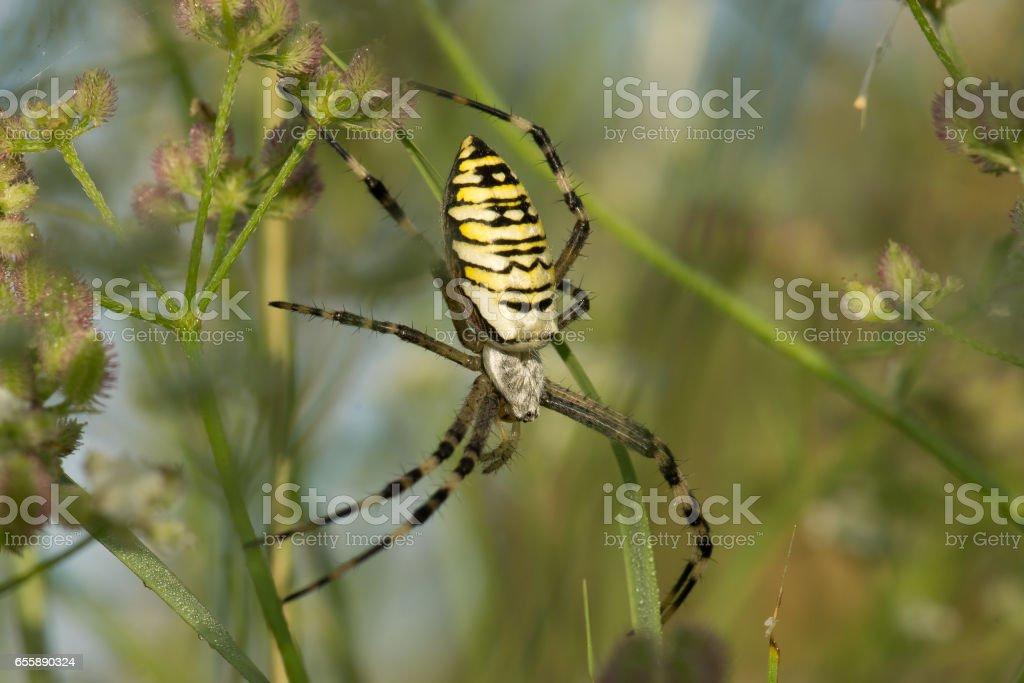 Argiope Bruennichi, or spider-wasp stock photo